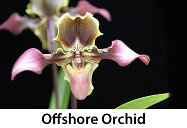 Offshore Orchid